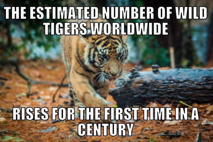 tiger4-11-16